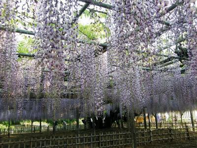 今朝の早朝ウォーキングは加須市(旧騎西町)にある玉敷神社の大藤を見ながら歩きます。