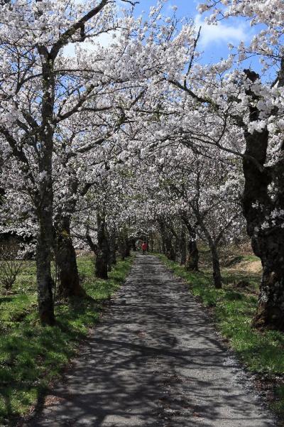 茅部神社 桜並木 Kayave Jinjya Sakura Namiki