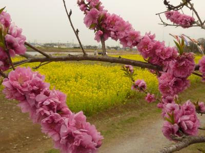 2017中川やしおフラワーパークの花桃