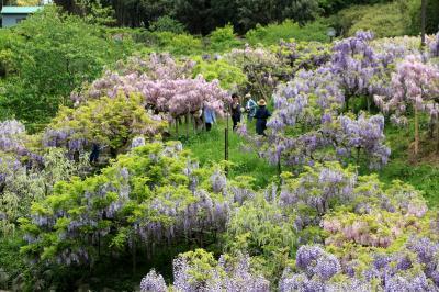ふじの花園、横須賀しょうぶ園・・・