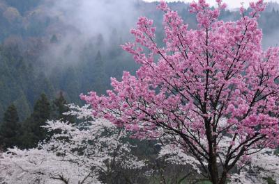 越前の春を旅する【1】~桜咲く一乗谷~