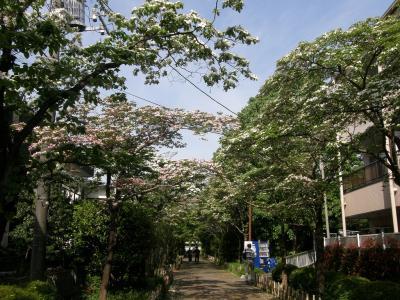 早朝ウォーキング・・・②大宮二十景・心和むハナミズキの並木道を歩く