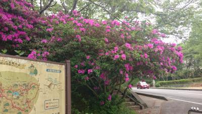 2017年5月 GW最終日に香取市小見川の城山公園に躑躅を見に行く近場旅
