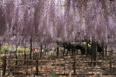 加須市 玉敷神社  甘い香りに誘われて…ご近所公園で藤の花を満喫