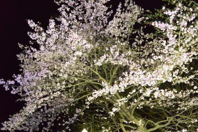 十勝の鈴蘭公園の桜~昼と夜