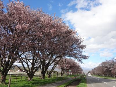 静内二十間道路桜並木を目指して走る