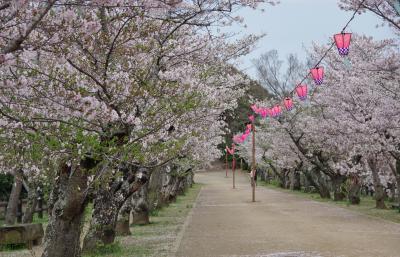 最後の桜を見に。