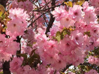 会津若松 桜と地酒と幕末と
