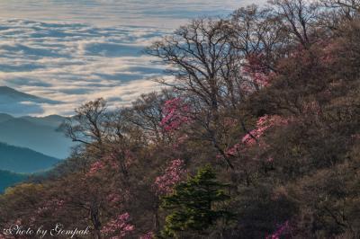 雲海の霧降高原にツツジ咲く