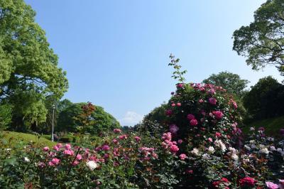 広見公園の薔薇が見頃でした 2017.05.19