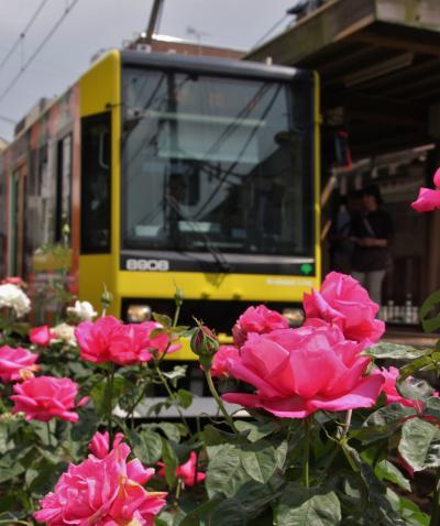 季節の街歩き 平成29年5月 都内のバラめぐり( 旧古河庭園・都電荒川線沿線) Town walk of the season(Kyu-Furukawa Gardens/Toden Arakawa line