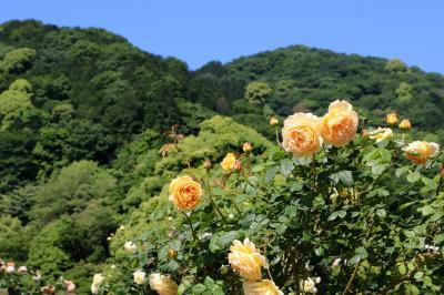 熱海の丘陵地に広がるバラ園、アカオハーブ&ローズガーデン・・・