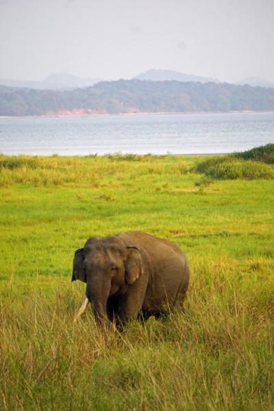 灼熱のスリランカ(5)広大なポロンナルワ遺跡を彷徨い歩いた後のミンネリア国立公園で野生の象に出合い、シーギリヤを目指す。