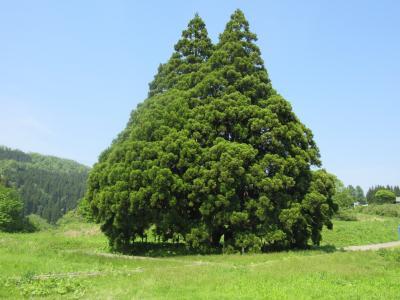 晴れおじさん「トトロの木」を見に行く