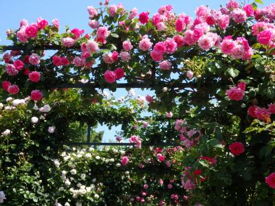 春バラが香る♪港の見える丘公園・山下公園〔ガーデンネックレス横浜2017〕