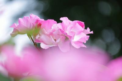 バラの香りに包まれて♪ 西山公園のバラが見ごろに