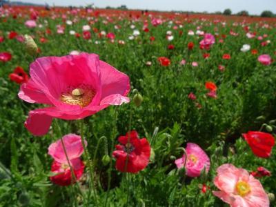 第7回こうのす花まつり2017~日本一広いポピー畑に満開のポピーを見に行く~