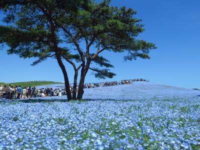 GWは花を見に<1> 「国営ひたち海浜公園」のネモフィラとチューリップ