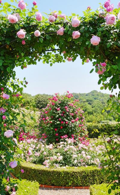 バラが見頃の《泉南イングリッシュローズガーデン》を訪ねて♪