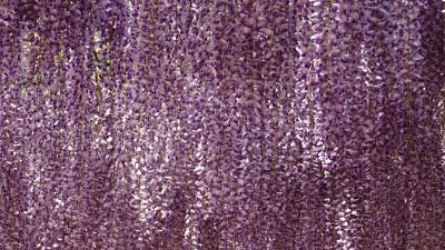丹波市白毫寺の九尺藤鑑賞(2) 白毫寺の見事な九尺藤。
