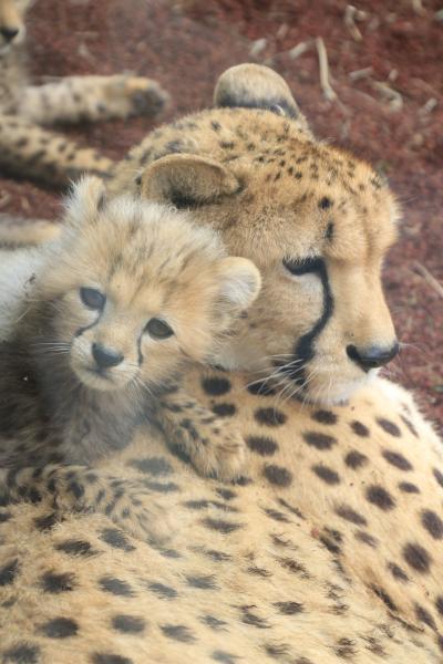 動物の赤ちゃんたちに会いに春の伊豆の動物園めぐり(2)伊豆アニマルキングダム猛獣編:チーターの五つ子の赤ちゃん元気いっぱい!~のんびりライオン&可愛いホワイトタイガー