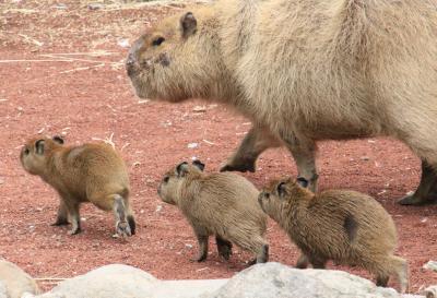 動物の赤ちゃんたちに会いに春の伊豆の動物園めぐり(3)伊豆アニマルキングダム・ウォーキングサファリとふれあい広場編:まだ人慣れしていないカピバラの三つ子ちゃんと寝ぼけなマーラの赤ちゃんに会えた@