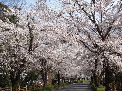 見頃を迎えた長瀞の桜を見に出かけました
