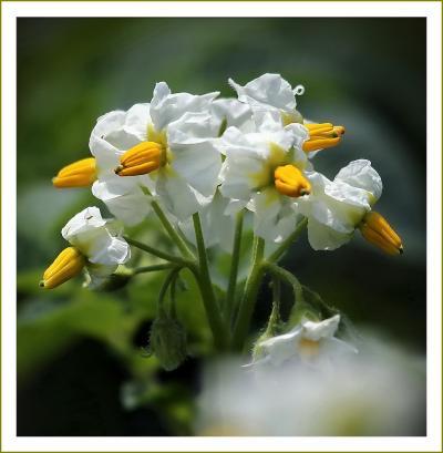 Solitary Journey [1915]  瀬戸の潮風を受けて赤土の大地で育つじゃがいもが白い花を咲かせていました。<マルアカの花>広島県安芸津町