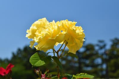 浜寺公園バラ庭園と三日月