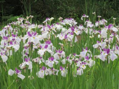 続★横浜・里山ガーデン、5月の花見【一週間後】