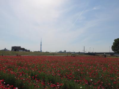 知る人ぞ知る赤い花畑 平井大橋ポピー畑