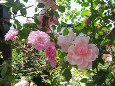 イングリッシュガーデン 色とりどりの薔薇に癒される♪