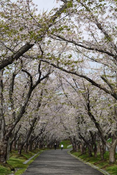 401-やっと来た!満開の戸田記念墓地公園の桜、の前に平岡梅林も満開だ~!