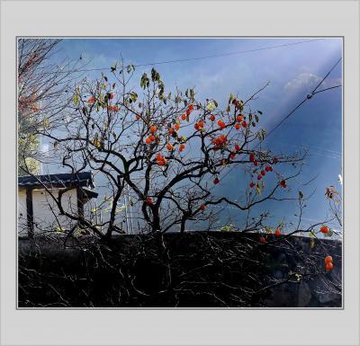 Solitary Journey[1837]県内一のオオモミジが見頃を迎えていました。それと雲海にも遭遇!<緑化センターの紅葉>広島県広島市