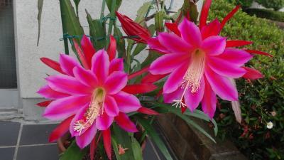 伊丹市鴻池地区の散策 珍しい花・・・2題 上巻。