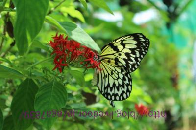 #324 2016年夏休み 3ヶ月振り2回目のシキホール島 #16 『Island Butterfly Garden;バタフライ・ガーデン』蝶々見に来てます ランチは地元のレストラン『dagsa』・・シキホール島3日目終了です