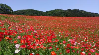 真っ赤な絨毯 天空のポピ-