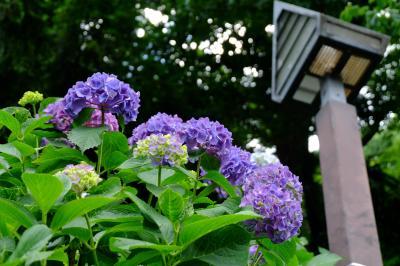 電車の響きと 紫陽花と 飛鳥の小径で