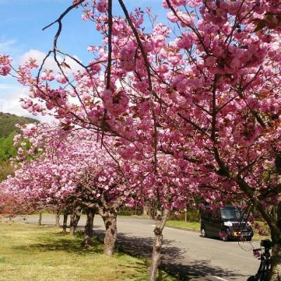 猪苗代昭和の森・八重桜
