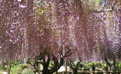 個人所有の庭を一般開放している藤の花