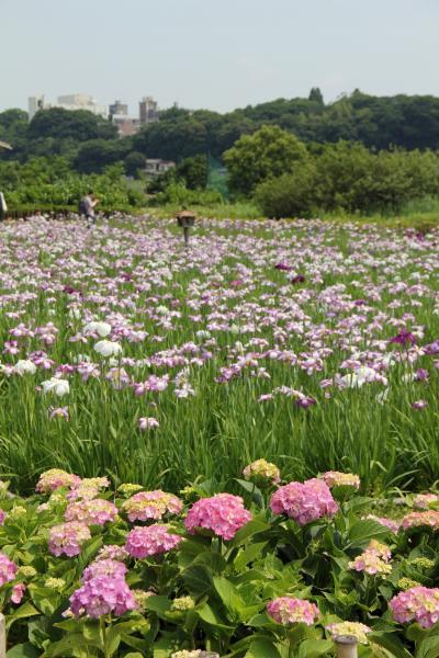 小岩菖蒲園見頃です