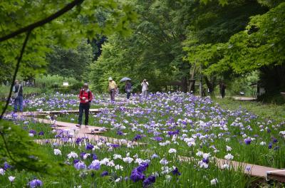 花菖蒲めぐり 横浜四季の森公園、都立水元公園