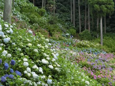 久しぶりの千葉県にて紫陽花