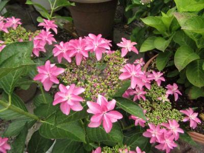 色とりどりのアジサイが咲く、服部農園あじさい屋敷を訪ねて