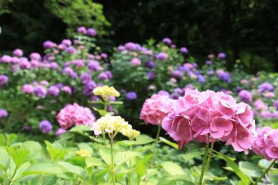 旅するイルカ♪ 和歌山県 緑花センター  あじさい撮影へ