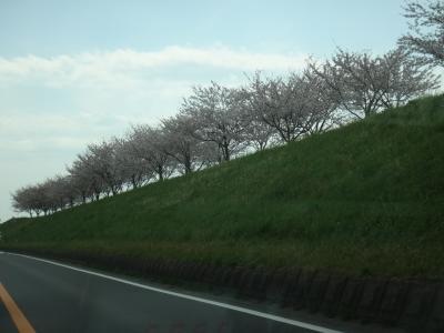 茨城県利根川沿いに咲く 桜