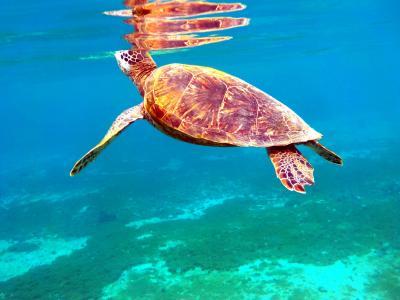 22.卒業旅行の沖縄 宮古島 アラマンダ2泊+前・後泊 シギラビーチのスキンダイビングその2 シギラビーチに入っている複数の海亀 この日もウミガメと泳げました