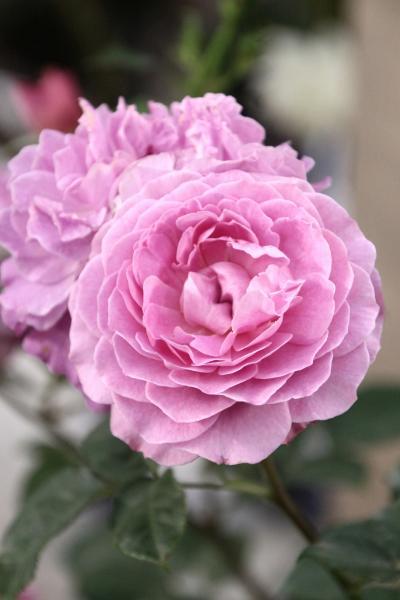 バラだけではない花の祭典・国際バラとガーデニングショウ2017(3)世界のニューローズやばらの盆栽からシンデレラレンズでうっとりのバラの切り花~タイムアウトでハンギングバスケットは回れず