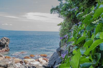 溶岩海岸の絶壁に自生するアジサイ ~城ヶ崎海岸にて~
