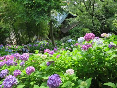 江ノ電鎌倉フリーパス『紫陽花の見頃の長谷寺』へ